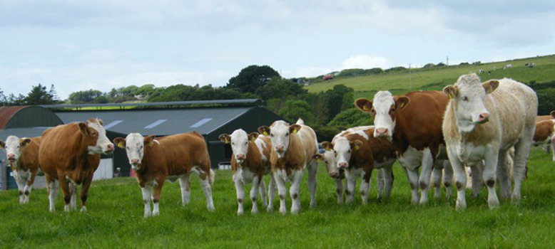 WINTER FINISHERS NEED A SUBSTANTIAL BEEF PRICE INCREASE – IFA