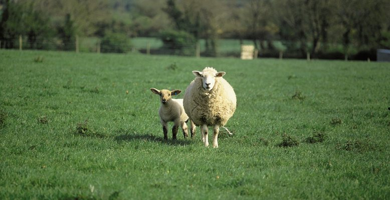 SHEEP QUOTES 23rd APRIL