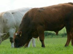 CATTLE PRICE UPDATE 22nd MAY
