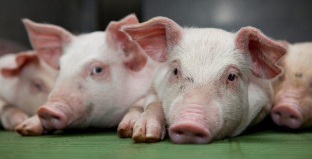 PIG PRICE REPORT 19th JUNE