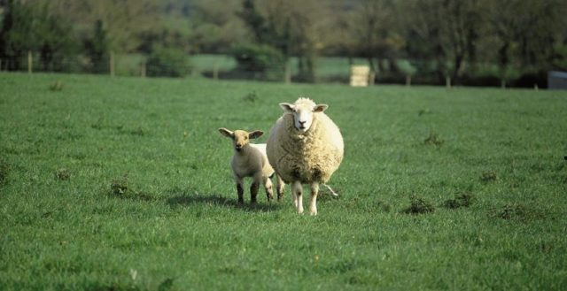 SHEEP FACTORY QUOTES 18th JUNE