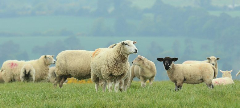 SHEEP FACTORY QUOTES 25th JUNE