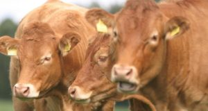 FACTORY CATTLE PRICES 28th AUGUST