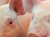 PIG PRICE UPDATE 17th JULY