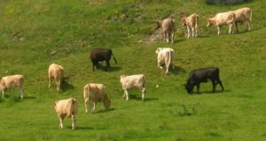 FACTORY CATTLE PRICES 21st AUGUST