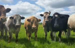 FACTORY CATTLE PRICES 14th AUGUST