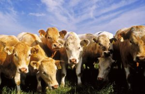 IFA CALLS FOR GOVERNMENT COMMISSION OF INVESTIGATION INTO THE BEEF SECTOR