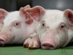 DEPT SHOULD PUT IMMEDIATE BAN ON PORK FROM ASF COUNTRIES