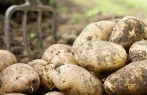 Domestic Potato Market Report