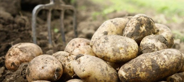 Domestic Potato Market Report
