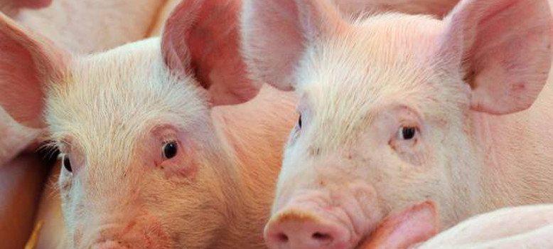 PIG MARKET UPDATE 11th SEPTEMBER